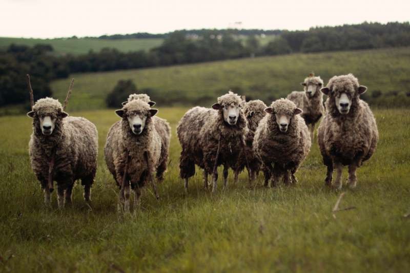 近期清境綿羊秀表演的連署與存廢產生許多爭議,針對廢止綿羊秀一說,作者認為不需要使用強硬手段制止。(示意圖/Ariana Prestes@Unsplash)