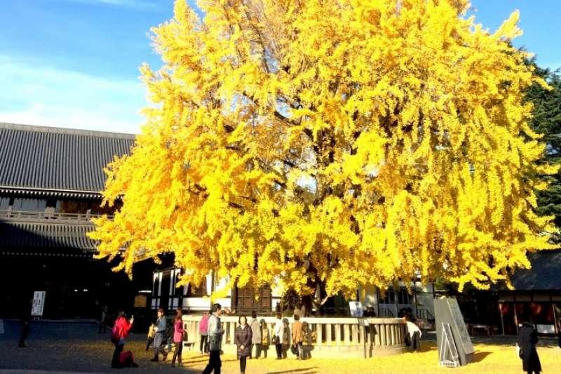 你知道京都市的市徽是銀杏葉嗎?因為京都就是座被銀杏環抱的城市!(圖/Matcha)