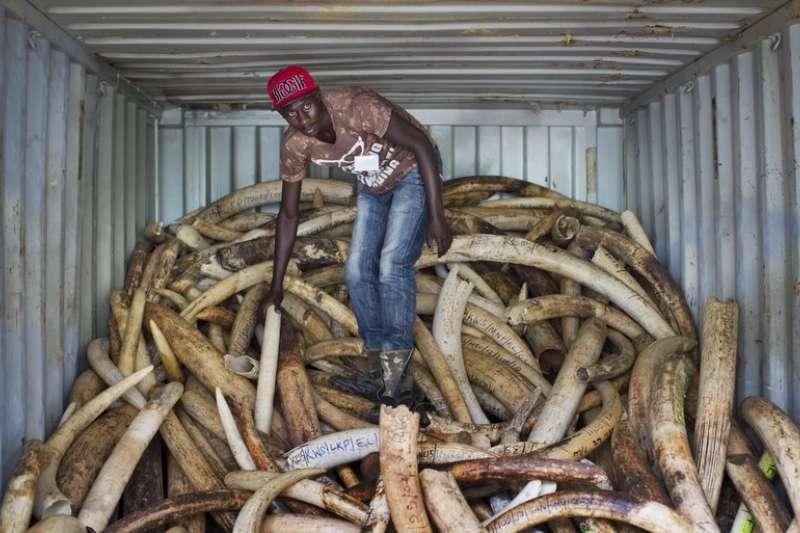 非洲象牙盜獵問題嚴重,每天有97頭大象死於槍口下。(美聯社)