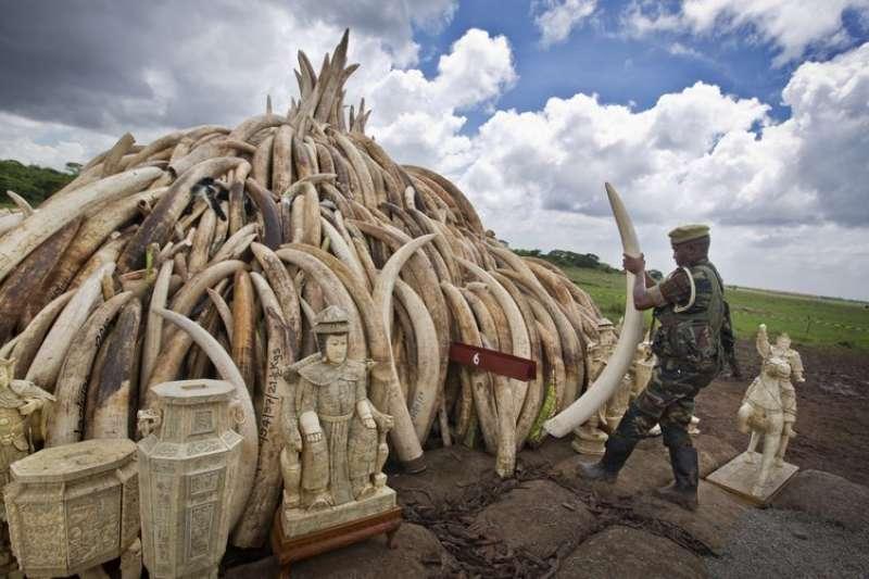 美國開放獵象戰利品進口,非洲大象面臨絕種危機。(美聯社)
