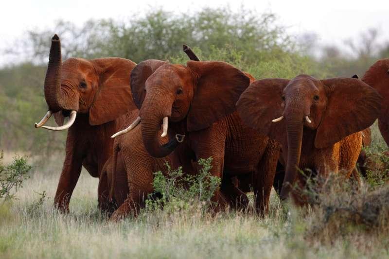 美國川普政府宣布開放從辛巴威進口的獵象戰利品,非洲大象的生存面臨危機。(美聯社)