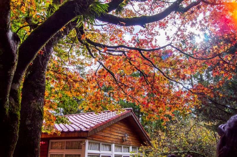 秋天正是賞楓的好時節。(圖/福壽山農場粉絲團@facebook)