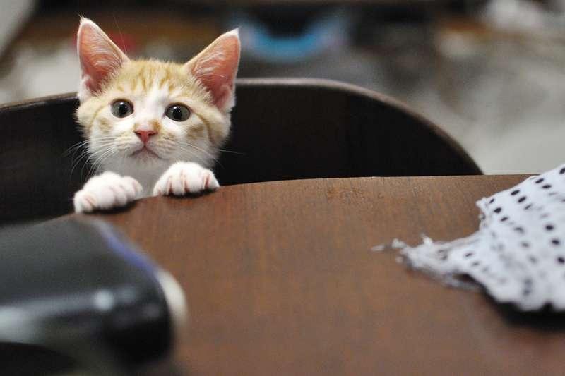 在公司養貓,竟然能增加同事的工作效率?圖為示意圖,非文中所提貓咪。(圖/yoppy@flickr)