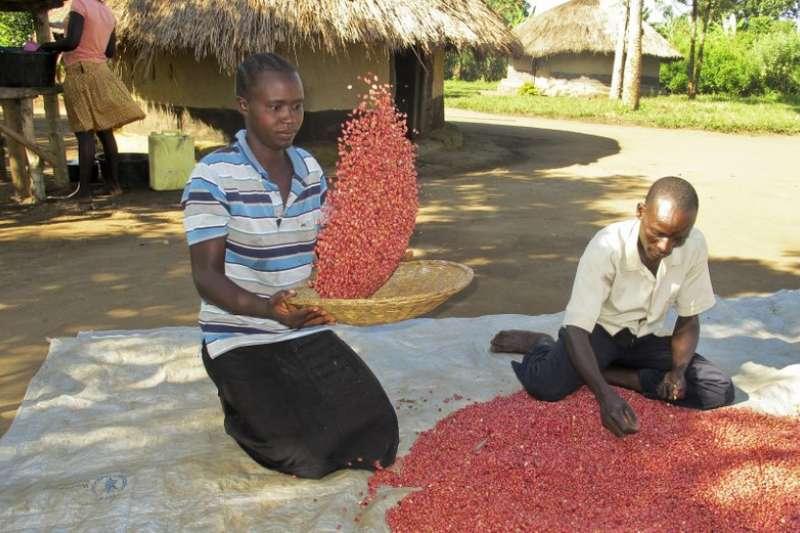 烏干達的農夫表示,以往只能收成兩袋一般豆子,但改種超級豆類後,現在他們能收成 6 袋。(美聯社)