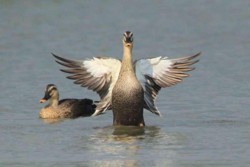 中華民國野鳥學會(中華鳥會)因中文名稱對夥伴關係「造成經營風險」,遭國際鳥盟解除夥伴關係。(資料照,台北市動物保護處提供)