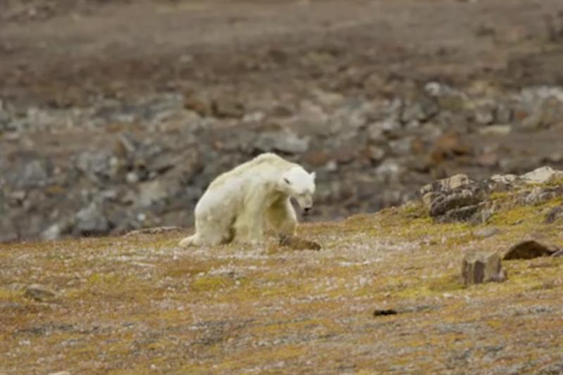 北極熊餓到皮包骨,是氣候變遷影響大自然的血淋淋鐵證。(截自Youtube)