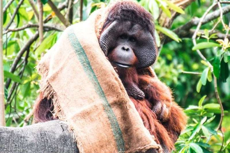 天氣太冷,紅毛猩猩披上麻布袋禦寒的可愛模樣,引來人氣。(圖/取自Taipei Zoo 臺北市立動物園FB)