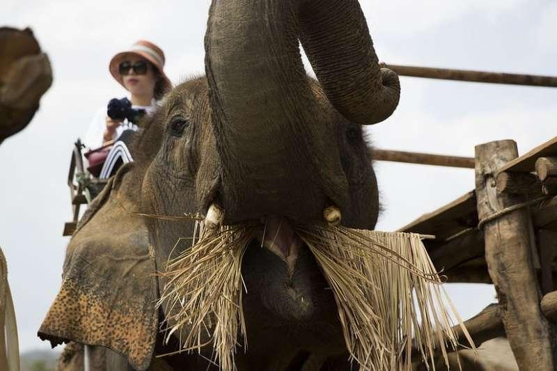 調查顯示,有40%在泰國旅遊的人表示他們已經或者計劃騎大象遊玩。(BBC中文網)
