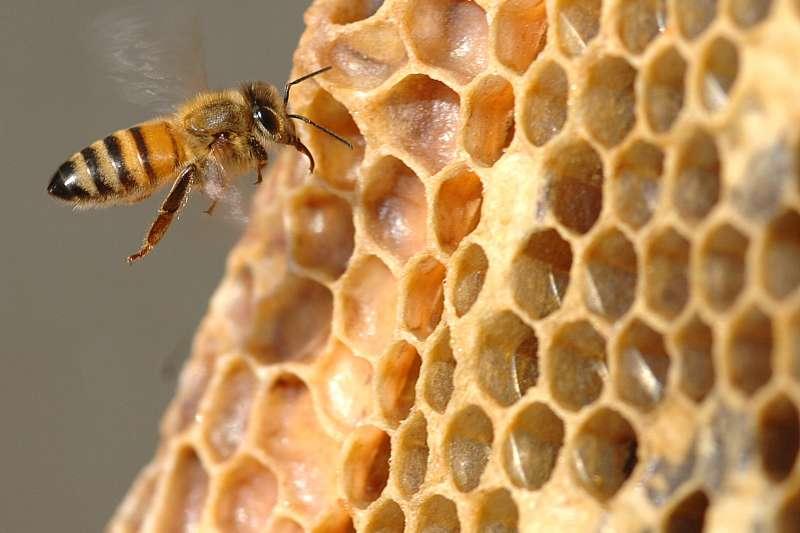 蜂巢。(Oregon State University@Flickr/CC BY-SA 2.0)