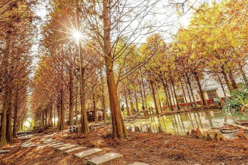 落羽松是冬季美麗的景緻。(圖經授權取自no1305@Instagram,非經同意,勿自行存取做其他用途。)