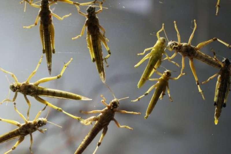 香港有市民10月在當地另一地區也發現蝗蟲,同樣被懷疑是放生活動所致。(BBC中文網)