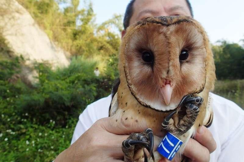 「東方草鴞」是瀕臨絕種的台灣特有亞種,因臉像蘋果對切而被暱稱為蘋果鳥。(圖/林務局提供)