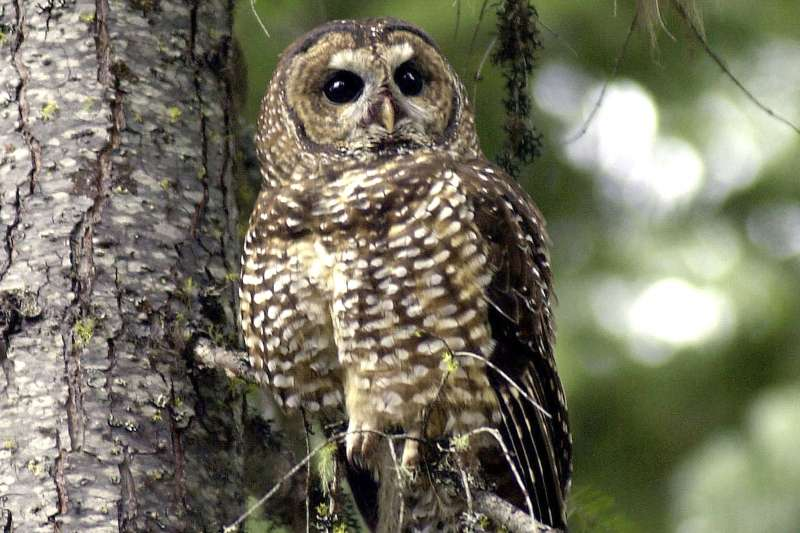 瀕危物種北方斑點鴞(Northern Spotted Owl)。(美聯社)