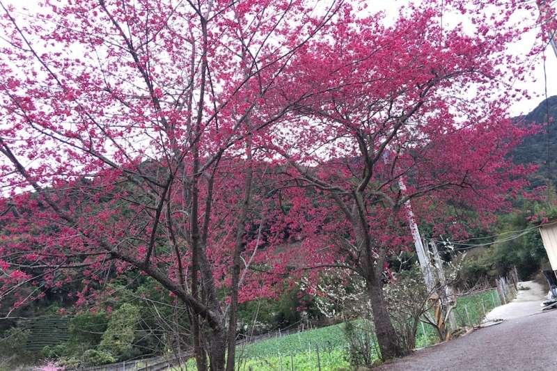 南投信義鄉櫻花季1月24日登場,草坪頭4千多棵櫻花陸續綻放。(圖/信義鄉公所提供)
