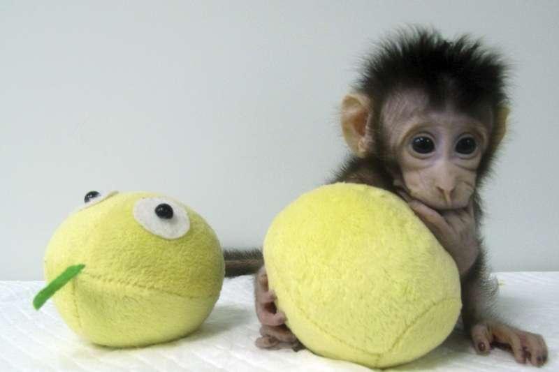 2018年1月25日,中國科學院神經科學研究所日宣布,世界上批體細胞複製猴「中中」與「華華」已在2017年底誕生,這是「華華」(AP)