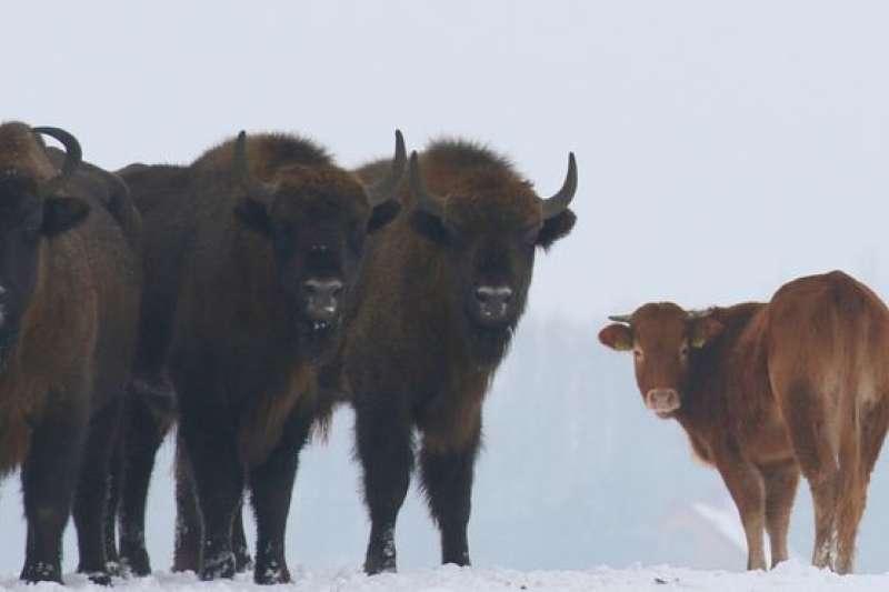 嬌小的奶牛妹妹跟著威猛的野牛哥哥。(BBC中文網)