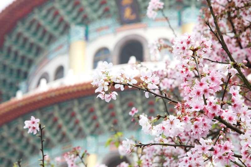 想要欣賞絮絮飄落的櫻花嗎?不用遠渡重洋到日本,在台北就可以欣賞到櫻花紛飛的浪漫景象!(圖/MiNe@flickr)