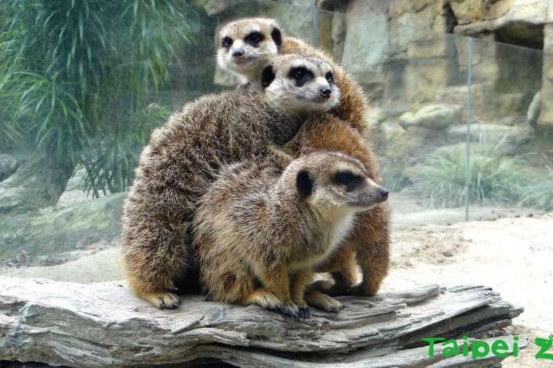 台北動物園的狐獴,聽到保育員喊點名就會乖乖排排站,遊客直呼好療癒!(圖/取自Taipei Zoo 臺北市立動物園 臉書粉專)