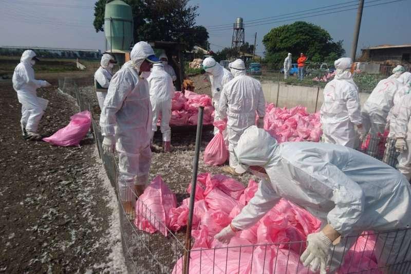雲林一養鴨場確認感染H5N6低病原性禽流感,為防範本病禽傳人風險,進行撲殺作業,防範禽流感。(圖/雲林縣政府提供)