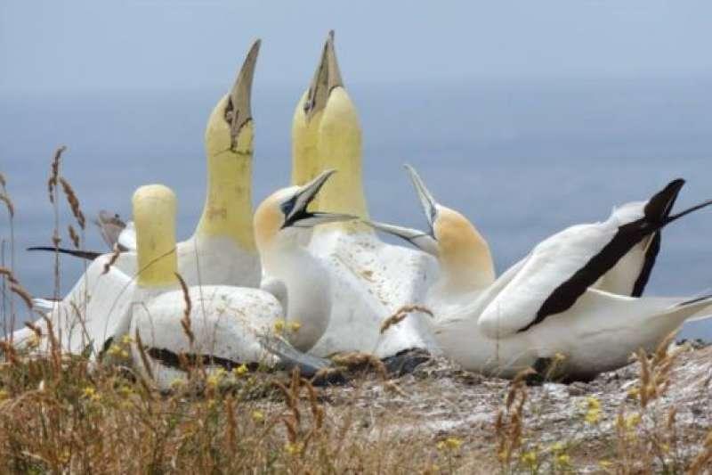 3隻澳洲塘鵝後來飛抵馬納島,並在島的另外一頭安頓下來。但「奈傑爾」拒絶「移情別戀」。(BBC中文網)