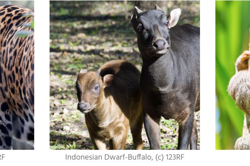 全球巧克力企業為了增加可可產量,在多個國家濫墾雨林,包括厄瓜多美洲豹、印尼小野牛、與秘魯樹懶的棲地,都會受到影響。(截自Mighty Earth)