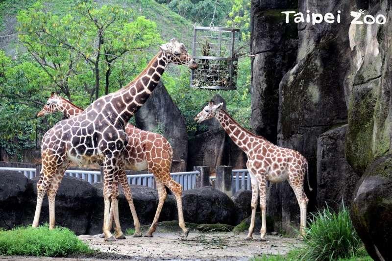 20180214-長頸鹿會用長長的脖子企圖將情敵驅趕出去。(台北市立動物園提供)