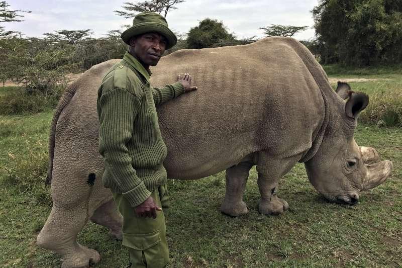 全球僅剩的雄性北非白犀牛蘇丹,因年事已高身體逐漸孱弱,健康情形相當不樂觀。