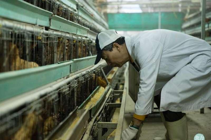 早洩中醫藥方,一遇禽流感,台灣政府就只會撲殺賠償?看香港這位養雞達人如何抓到關鍵杜絕疫情