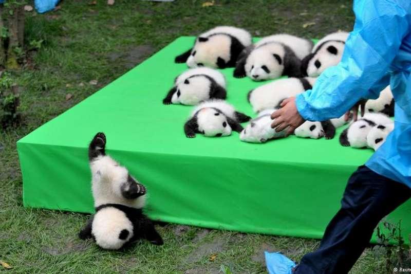 成都大熊貓繁育中心,一隻不慎跌落的熊貓寶寶。(BBC中文網)