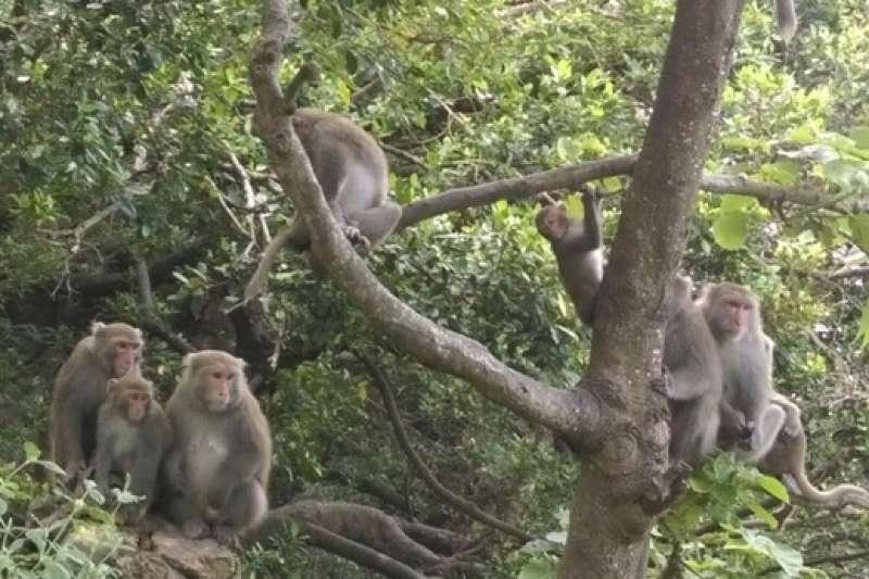 民眾接觸、餵食獼猴的行為,容易發生人畜共通疾病傳染的風險,餵食行為也會改變野生獼猴的生態及習性,將導致獼猴過度親近人類活動範圍,增加人猴間衝突。(圖/高雄市政府農業局提供)