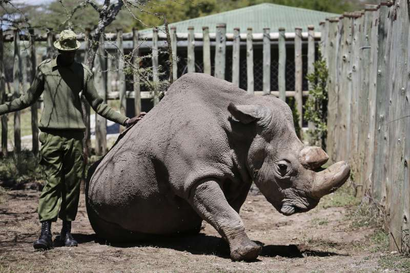 全球僅剩的雄性北非白犀牛蘇丹,因年事已高身體逐漸孱弱,被獸醫安樂死。(AP)