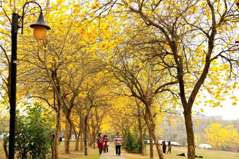 櫻花季進入尾聲別太傷心,還有黃花風鈴木接力!(圖/盡其在我@flickr)