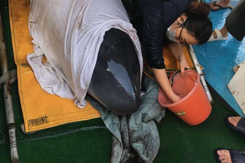 救援志工細心照顧安靜躺在漁船上準備野放的小抹香鯨「關關」。(台北市政府提供)
