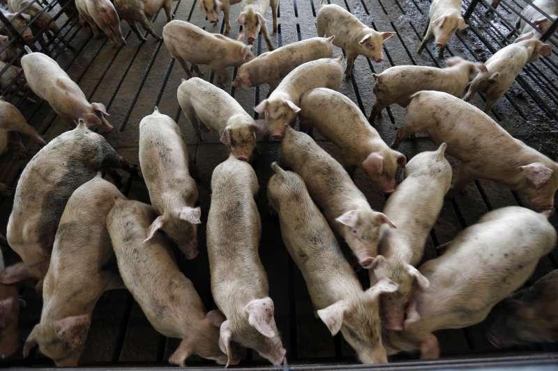 中央政府即將開放萊克多巴胺美豬牛進口,台灣朝野吵得沸沸揚揚。(AP)