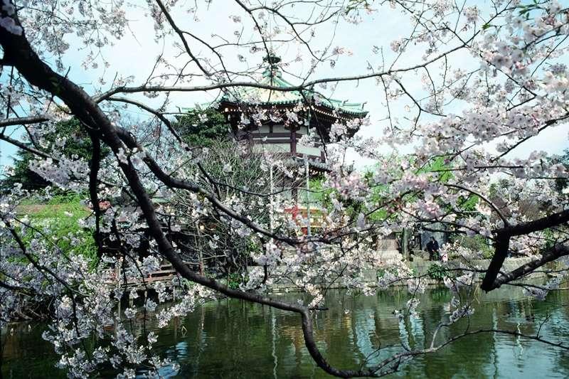 東京的櫻花未來恐消失?(圖/Wikipedia)