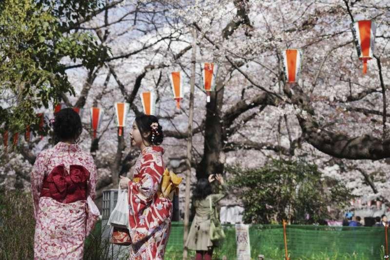 穿著和服的遊客欣賞東京盛開的櫻花。櫻花綻放,標誌著日本春天到來。不過有專家指出,日本櫻花面臨著一種外來昆蟲「紅頸長角天牛」(Aromia bungii)侵蝕的威脅,如果不採取措施,日本的櫻花樹可能遭到損壞。(美國之音)