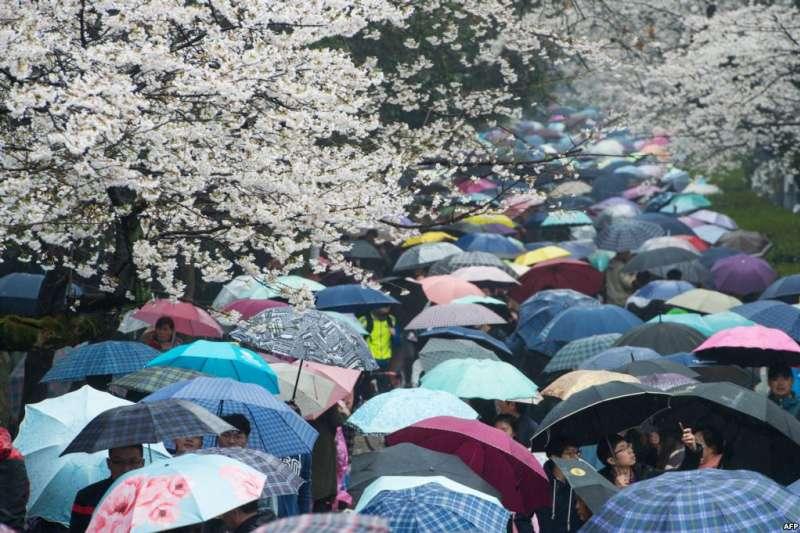 中國湖北省武漢市武漢大學,春雨中,遊客打著五顏六色的雨傘看櫻花。花之海,傘之河,人之流,皆成風景。(美國之音)
