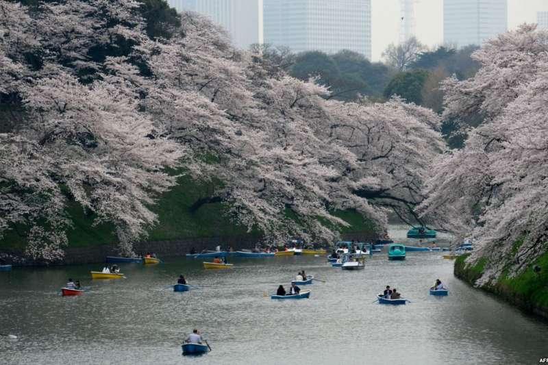 遊客在日本首都東京的碧波上划船,兩岸櫻花繁盛。日本櫻花季節到來,民眾和外國遊客湧入公園賞櫻。(美國之音)