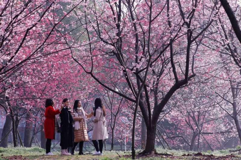 武漢春來早,東湖櫻花園,粉花似雲霞,人在畫中游。這是佔地150多畝的日式庭園,大約有櫻花5000多株。(美國之音)