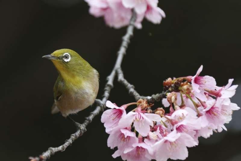 東京的新宿御苑,櫻樹枝頭春意鬧,有鳥飛來,構成一幅花鳥圖。可以以這幅照片作為謎語的謎面,打一中國古代的詞牌名,謎底是《鵲踏枝》,又名《蝶戀花》。(美國之音)