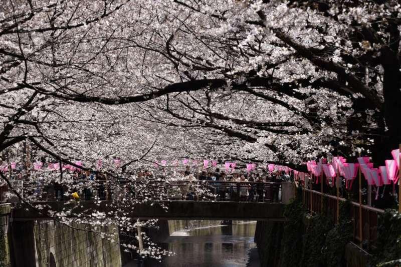 東京櫻花盛開。氣象機構說,由於天氣溫暖,今年櫻花開得早,比過去平均花期提前了九天。(美國之音)