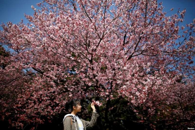 日本東京的新宿御苑,花團錦簇中,一位少女觀察櫻花花蕾。套用中國宋人辛棄疾的一首詞來說,人看櫻花多嫵媚,料櫻花看人應如是。(美國之音)