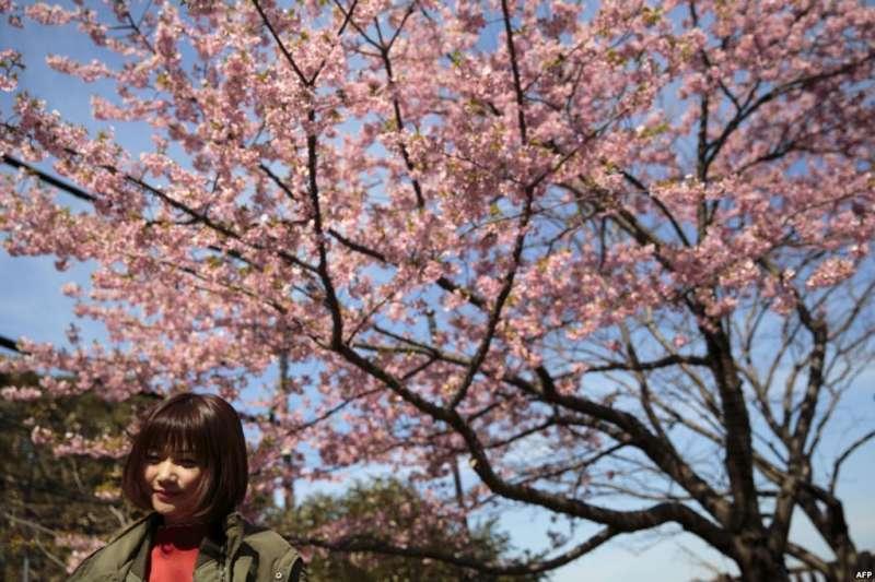 日本神奈川縣江之島,河津櫻花繁茂,遊客花下留影。櫻花的原產地是哪裡?人們往往想到日本。但中國和韓國的一些研究人員說,他們的國家才是櫻花樹的發源地。(美國之音)