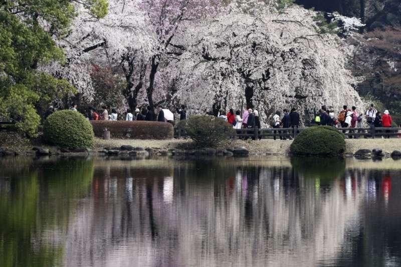 東京新宿御苑的池塘里映出櫻花。(美國之音)