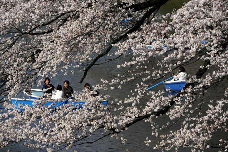 在東京的千鳥淵公園,櫻花樹下,遊人盪槳。(美國之音)