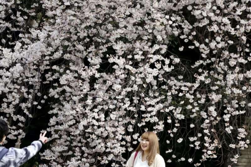 遊客在東京的新宿御苑觀賞櫻花怒放。(美國之音)