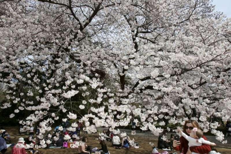 遊客在東京的新宿御苑的櫻花下席地而坐,有幼兒伸手指向花樹。(美國之音)