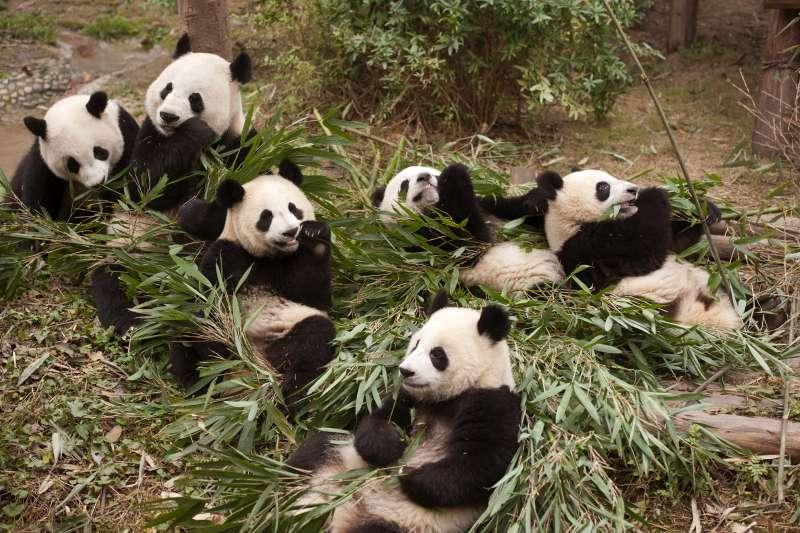 中國的「貓熊外交」竟然從唐朝就開始!(AP)