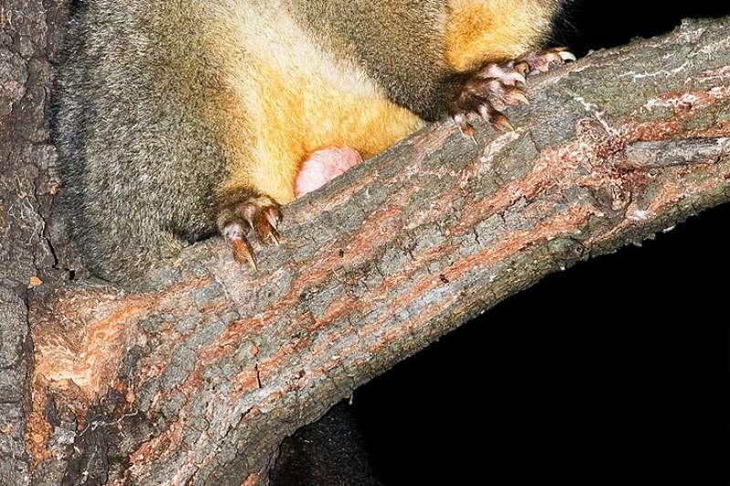 澳洲袋貂。(JJ Harrison@Wikipedia / CC BY-SA 2.5)