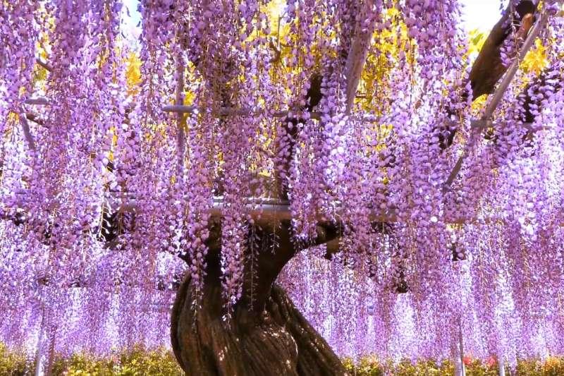 日本唯一被CNN評選為「世界十大夢幻旅遊景點」的足利花卉公園,絕對是賞紫藤花之旅的必到之處。(圖/翻攝自youtube)